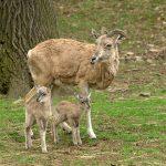 Urial kaspický – mláďata