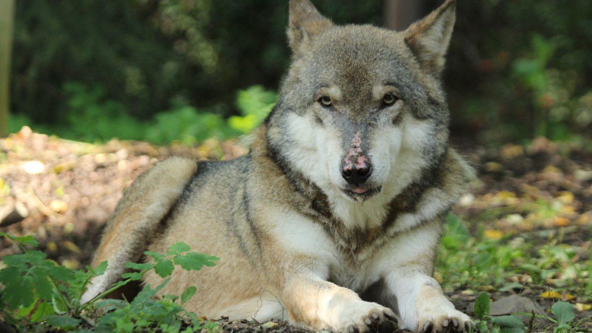 Vlk eurasijský