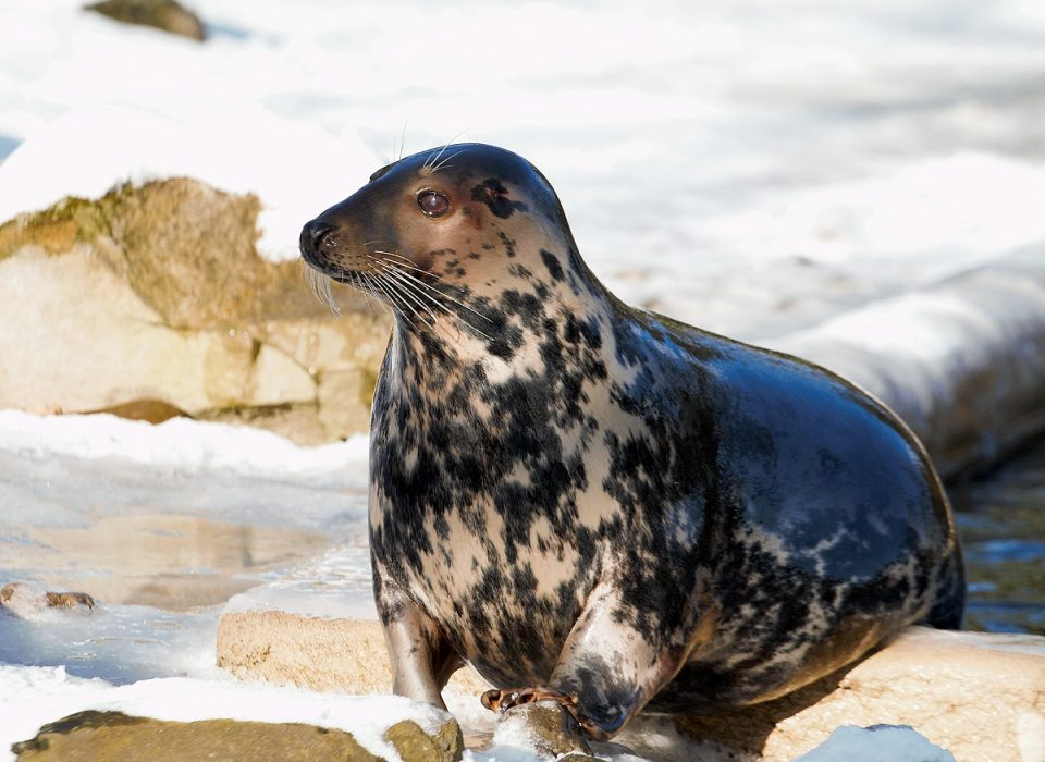 Tuleň kuželozubý – samice Tomina