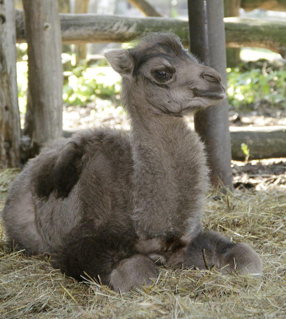 Malá velbloudí slečna Odetka dostala jméno krátce po narození díky adopci. Foto: Miroslav Brtnický