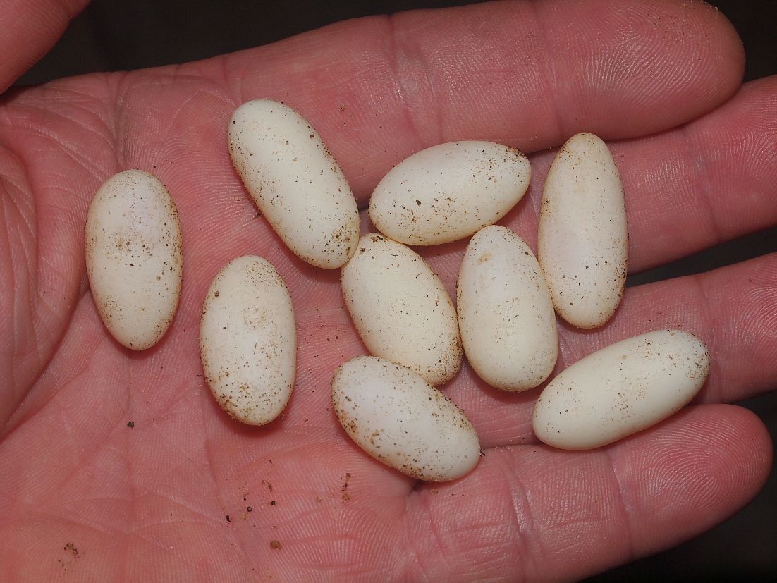 Odebraná vajíčka agamy před umístěním do líhně. Foto Jaroslav Zelinka
