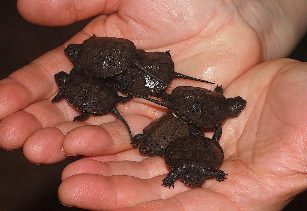 Loňský odchov želvy bahenní. Foto Jaroslav Zelinka