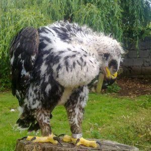 Orel skalní – mládě