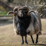 Ovce vřesová