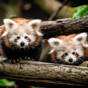 Panda červená – mláďata