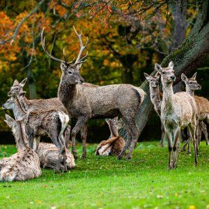 Stádo jelenů bucharských