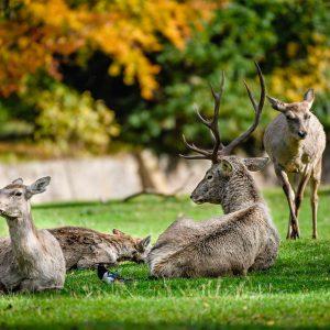 Odpočívající jeleni bucharští