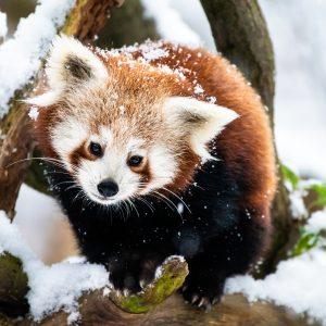 Panda červená – mládě