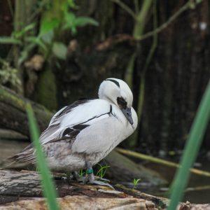 Morčák bílý ♂