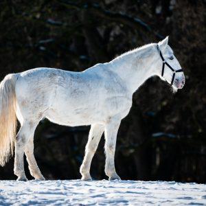 Starokladrubský kůň