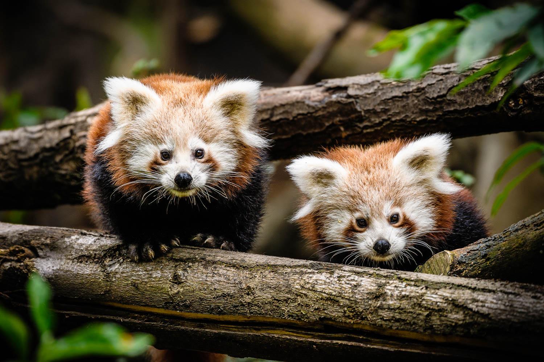 Sourozenci pandy červené