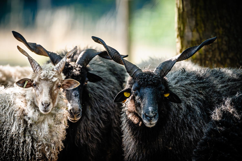 Ovce cápová