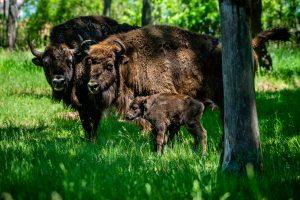 Býk Po, samice Pomela a jejich novorozený potomek