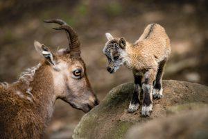 Kozorožec alpský – jedno z čerstvě narozených dvojčat