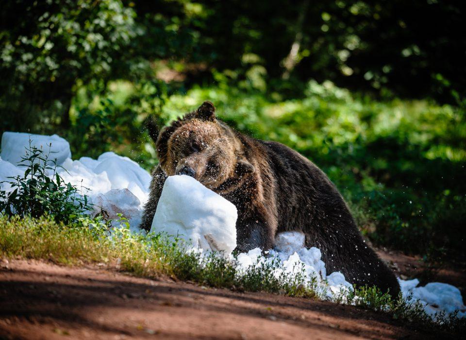 Sníh jako enrichment u medvědů hnědých
