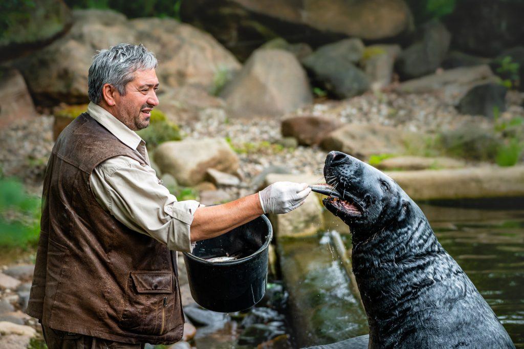Krmení tuleňů kuželozubých