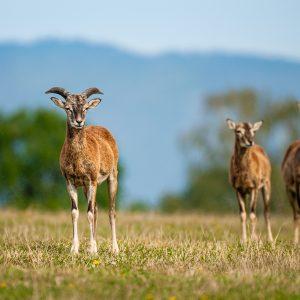 Mufloni v Eurosafari