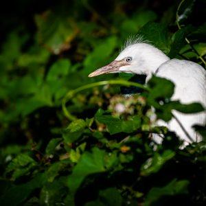 Volavka rusovlasá – mládě