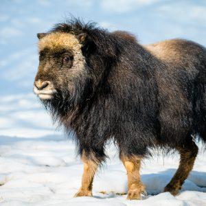 Freya – mládě pižmoně grónského