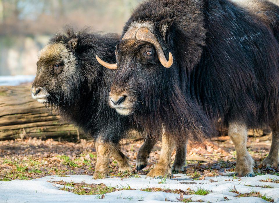 Freya a Ikkuma – samice pižmoně grónského