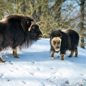 Ikkuma a Freya – samice pižmoně grónského