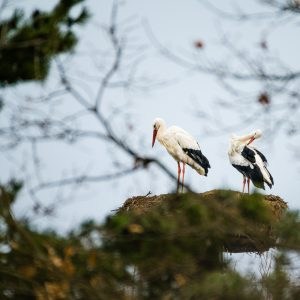 Pár čápů bílých v Zooparku Chomutov